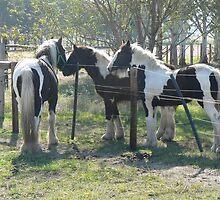 Gypsy Cob Foals by louisegreen