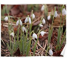The simple snowdrop Poster
