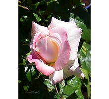 A Pale Pink Rose Bud Photographic Print