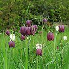Kievitsbloem ~ Fritillaria Meleagris  by Hans Bax