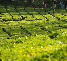Munnar Tea Plantation by Clive S