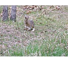 """""""Here comes Peter Cottontail, hopping down the bunny trail..."""" Photographic Print"""