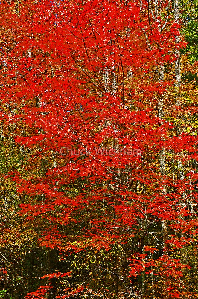 RED MAPLE by Chuck Wickham