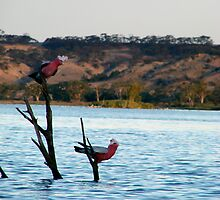 Galahs having a twilight drink by LeonieRobertson