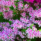 Pink Azaleas by Jonathan Green by Jonathan  Green