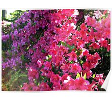 Azaleas In the Bright Sunlight Poster