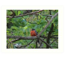 Fat and Happy Robin Red Breast Art Print