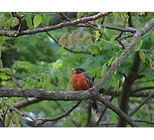 Fat and Happy Robin Red Breast Photographic Print