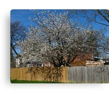 Spring is hanging over the fence Canvas Print