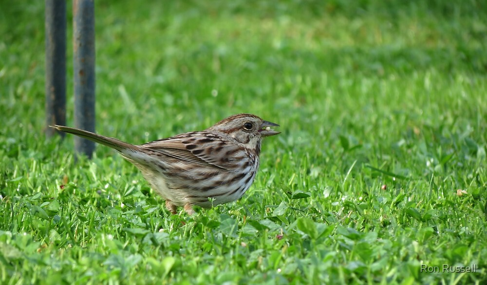 Song Sparrow by Ron Russell