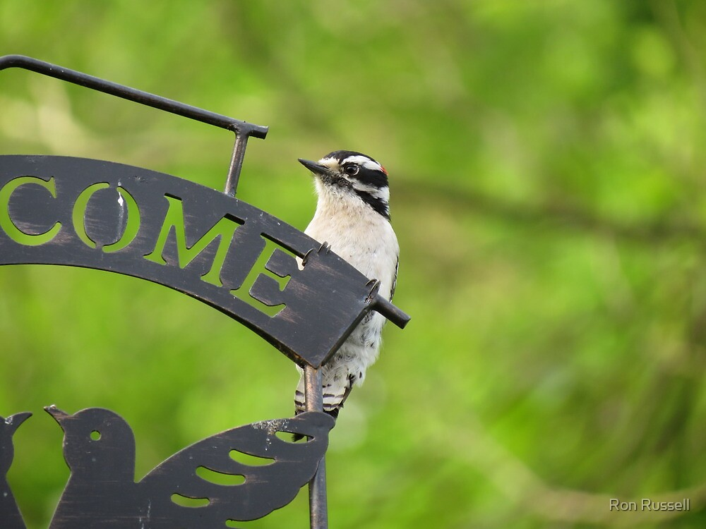 Male Downy Woodpecker by Ron Russell