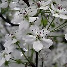 Pear Bloosom a touch of Spring by Sandra Lee Woods
