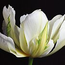 Spring Splendour by Wendi Donaldson Laird
