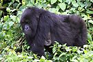 Female Mountain Gorilla by Carole-Anne