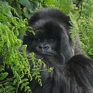 Hirwa, Silver Back Male Mountain Gorilla by Carole-Anne