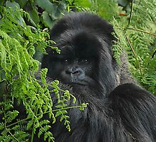 Hirwa, Silver Back Male Mountain Gorilla by Carole-Anne