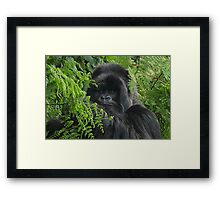 Hirwa, Silver Back Male Mountain Gorilla Framed Print