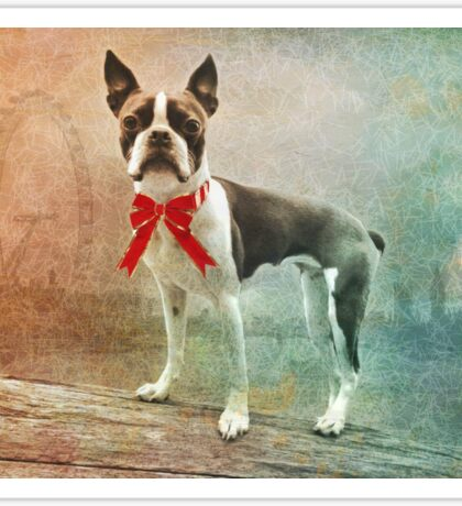 Portrait of Meryl the Boston Terrier Sticker