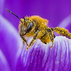 Pollen-covered Bee On Crocus Petal. by Daniel Cadieux