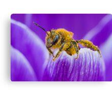 Pollen-covered Bee On Crocus Petal. Canvas Print