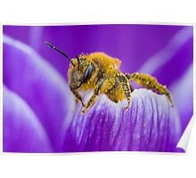 Pollen-covered Bee On Crocus Petal. Poster
