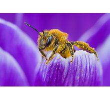 Pollen-covered Bee On Crocus Petal. Photographic Print