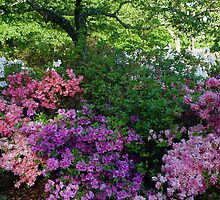 Azaleas On The Rocks by Carolyn  Fletcher