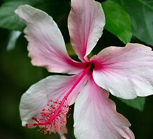 """Hibiscus """"Happy Birthday"""" Card by Sandy1949"""