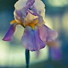 Iris at Sunset by anniephoto