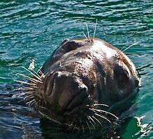 Close up of the face of a bull Grey seal. by Colin Munro