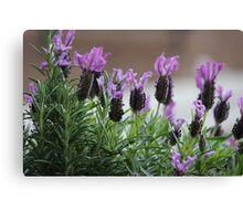 Lavender Canvas Print