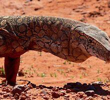 Perentie Lizard - Central Australia by steve nicholson