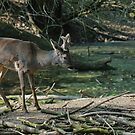 Roe deer by LifePictures