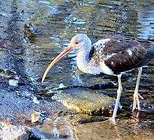 Juvenile White Ibis at Seminole Park by AuntDot
