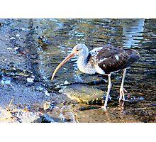 Juvenile White Ibis at Seminole Park Photographic Print