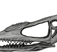 Pterodactyloidea skull by stasia-ch