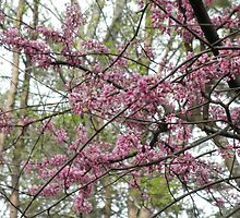 Redbud Tree by ack1128