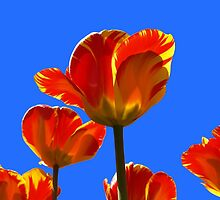 Electric Orange & Yellow Tulips by Lee d'Entremont