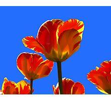 Electric Orange & Yellow Tulips Photographic Print