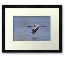 Great  Blue Heron in flight Framed Print