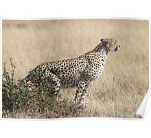 Cheetah Ready for Takeoff Poster