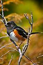 Eastern Towhee by Michael Cummings