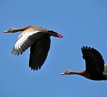 Black-bellied Whistling Ducks  by venny