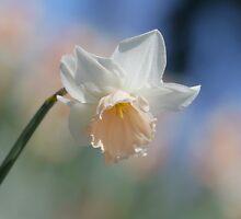 Daffodil, my bosom friend  by Brian Bo Mei