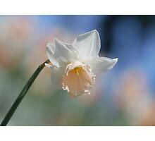 Daffodil, my bosom friend  Photographic Print