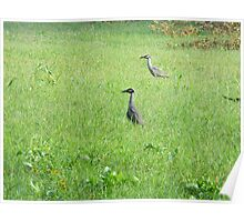 Yellow-Crowned Night Herons Poster