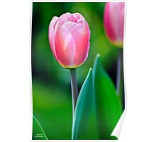 Morning Tulip Poster