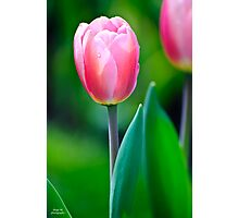 Morning Tulip Photographic Print