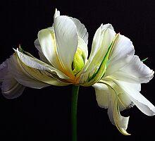Spring Symphony by Wendi Donaldson