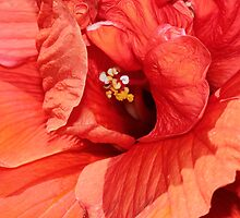 flaming orange hibiscus by Maree Costello